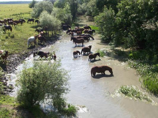 i cavalli allevati nelle paludi della Sava