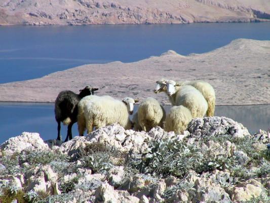 pecore sull'isola Pag