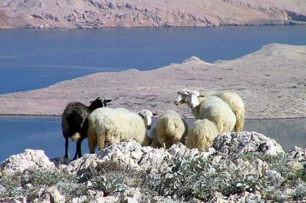 isola Pag pecore roccia e mare