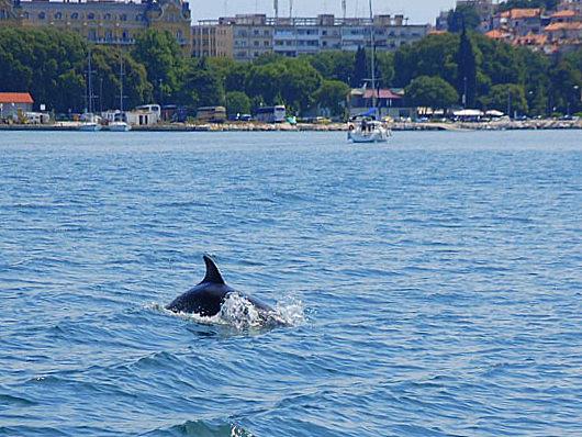 la baia di Pola e i suoi delfini