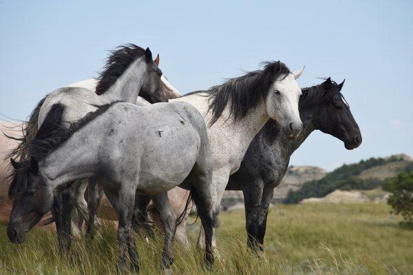 cavalli inselvatichiti sulle montagne della Croazia